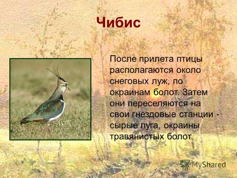 Чибис После прилета птицы располагаются около снеговых луж, по окраинам болот. Затем они переселяются на свои гнездовые станции - сырые луга, окраины травянистых болот.