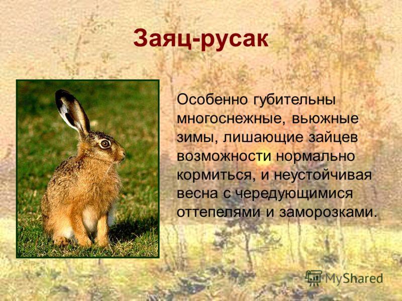Заяц-русак Особенно губительны многоснежные, вьюжные зимы, лишающие зайцев возможности нормально кормиться, и неустойчивая весна с чередующимися оттепелями и заморозками.
