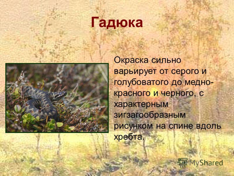Гадюка Окраска сильно варьирует от серого и голубоватого до медно- красного и черного, с характерным зигзагообразным рисунком на спине вдоль хребта.