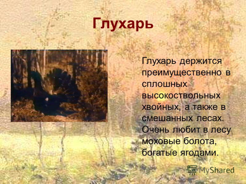 Глухарь Глухарь держится преимущественно в сплошных высокоствольных хвойных, а также в смешанных лесах. Очень любит в лесу моховые болота, богатые ягодами.