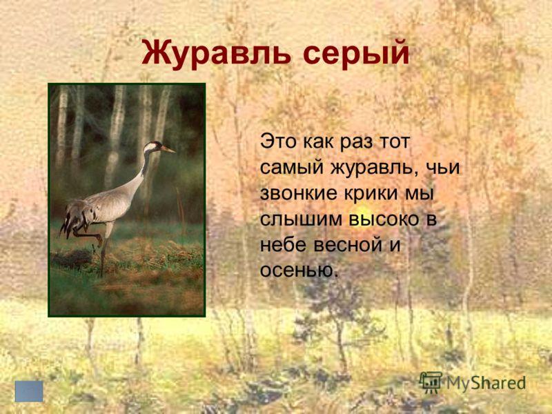 Журавль серый Это как раз тот самый журавль, чьи звонкие крики мы слышим высоко в небе весной и осенью.