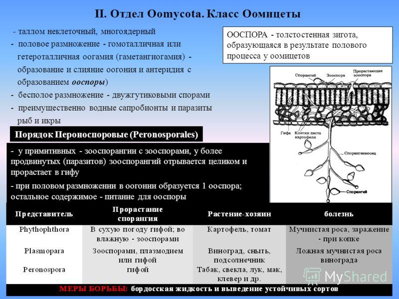 II. Отдел Oomycota. Класс Оомицеты - таллом неклеточный, многоядерный - половое размножение - гомоталличная или гетероталличная оогамия (гаметангиогамия) - образование и слияние оогония и антеридия с образованием ооспоры) - бесполое размножение - дву