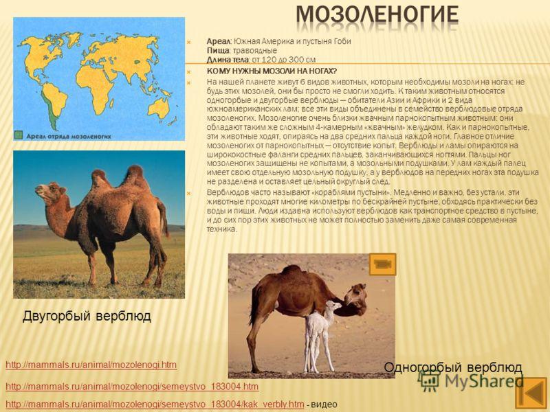 Ареал: Южная Америка и пустыня Гоби Пища: травоядные Длина тела: от 120 до 300 см КОМУ НУЖНЫ МОЗОЛИ НА НОГАХ? На нашей планете живут 6 видов животных, которым необходимы мозоли на ногах: не будь этих мозолей, они бы просто не смогли ходить. К таким ж