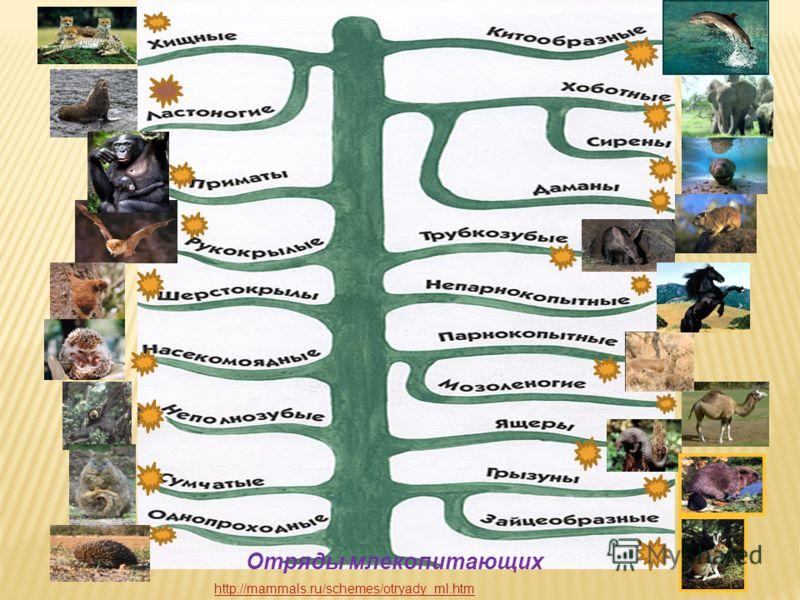Отряды млекопитающих http://mammals.ru/schemes/otryady_ml.htm