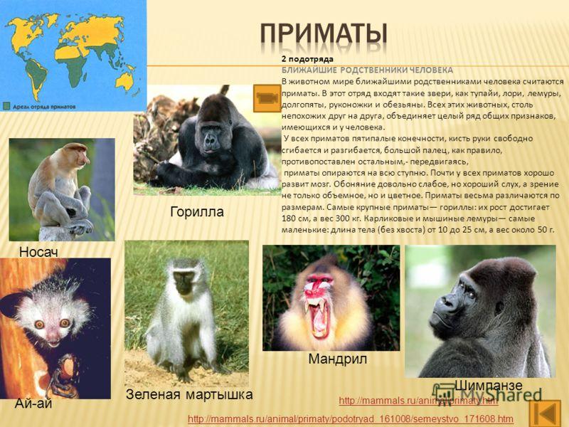 Шимпанзе Носач 2 подотряда БЛИЖАЙШИЕ РОДСТВЕННИКИ ЧЕЛОВЕКА В животном мире ближайшими родственниками человека считаются приматы. В этот отряд входят такие звери, как тупайи, лори, лемуры, долгопяты, руконожки и обезьяны. Всех этих животных, столь неп