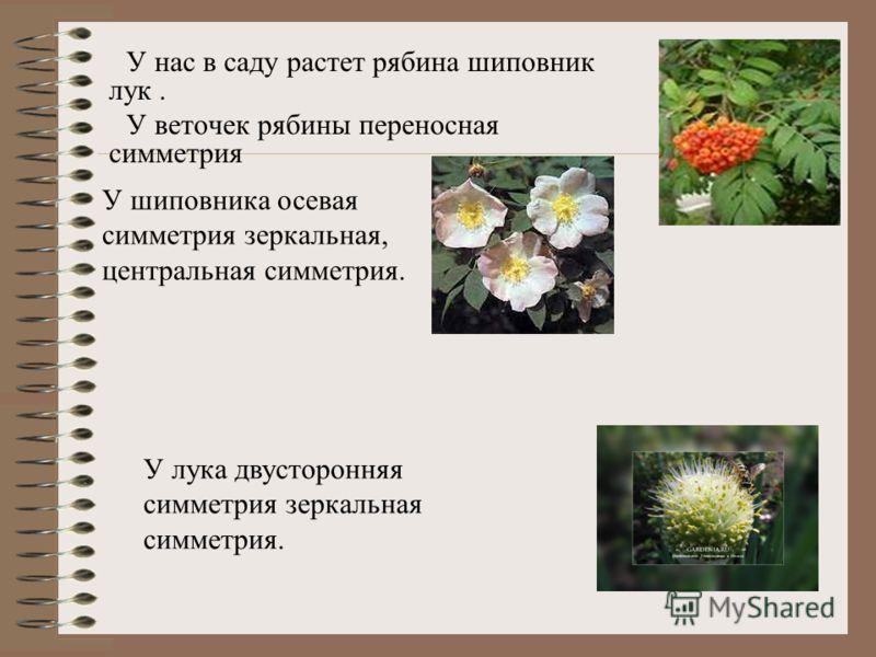 Из наших гербарий хорошо видно зеркальная симметрия Для листьев характерна зеркальная симметрия, например в лесах нашего района очень много деревьев: береза, клен, тополя, дуб. Мы с классом каждый год ездим осенью собирать листья этих деревьев для ге