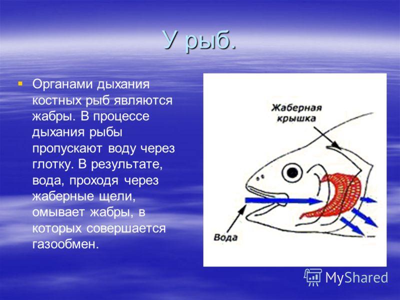 У рыб. Органами дыхания костных рыб являются жабры. В процессе дыхания рыбы пропускают воду через глотку. В результате, вода, проходя через жаберные щели, омывает жабры, в которых совершается газообмен.