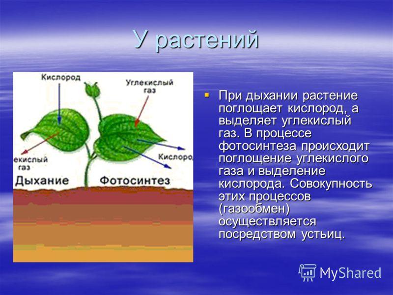 У растений При дыхании растение поглощает кислород, а выделяет углекислый газ. В процессе фотосинтеза происходит поглощение углекислого газа и выделение кислорода. Совокупность этих процессов (газообмен) осуществляется посредством устьиц. При дыхании