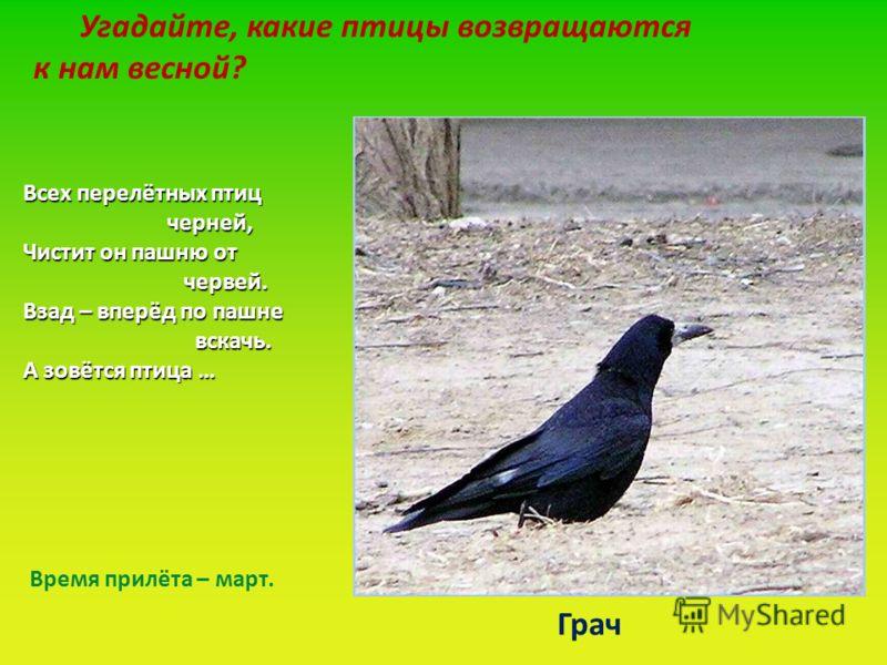 Угадайте, какие птицы возвращаются к нам весной? Всех перелётных птиц черней, черней, Чистит он пашню от червей. червей. Взад – вперёд по пашне вскачь. вскачь. А зовётся птица … Грач Время прилёта – март.