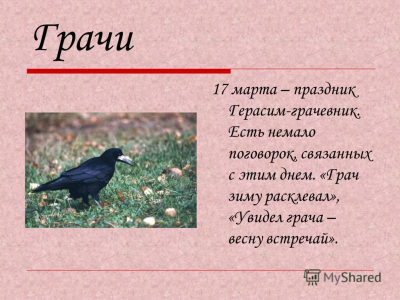 Грачи 17 марта – праздник Герасим-грачевник. Есть немало поговорок, связанных с этим днем. «Грач зиму расклевал», «Увидел грача – весну встречай».