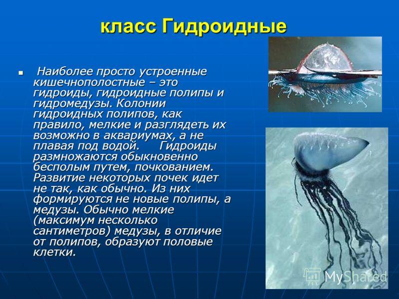 Многообразие типа 1.Класс Гидроидные (Hydrozoa) (около 3000 видов) 2.Класс Сцифоидные (Scyphozoa) (около 200 видов) 3.Класс Коралловые полипы (Anthozoa) (около 6000 видов)