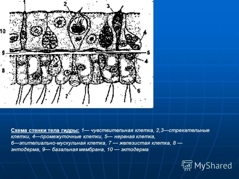 Пресноводный полип гидра. А продольный; Б поперечный срез: 1ротовое отверстие, 2кишечная полость, 3эктодерма, 4энтодерма, 5мезоглея, 6бугорок со сперматозоидами, 7бугорок с яйцеклеткой, 8 стрекательная клетка, 9 нервная клетка, 10 почка. 11 щупальце,