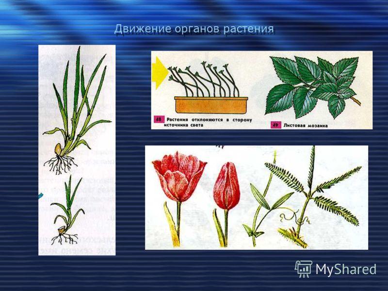 Движение органов растения Выделяют 3 основные формы Направленный рост (рост стебля и корней) Круговые или Колебательные движения Неравномерное растяжение (изгиб) органов