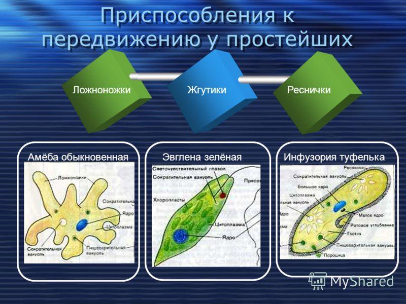 Движение может происходить: Движение может происходить: На уровне клетки На уровне органа На уровне целого организма На уровне целого организма движение цитоплазмы сокращение сердечной мышцы, движение конечности, частично у растений животные