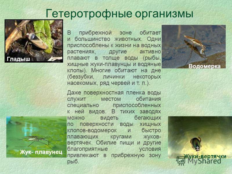 Гетеротрофные организмы Гладыш Водомерка В прибрежной зоне обитает и большинство животных. Одни приспособлены к жизни на водных растениях, другие активно плавают в толще воды (рыбы, хищные жуки-плавунцы и водяные клопы). Многие обитают на дне (беззуб
