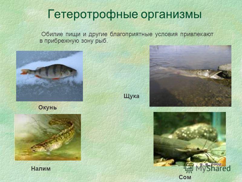 Гетеротрофные организмы Окунь Щука Обилие пищи и другие благоприятные условия привлекают в прибрежную зону рыб. Налим Сом