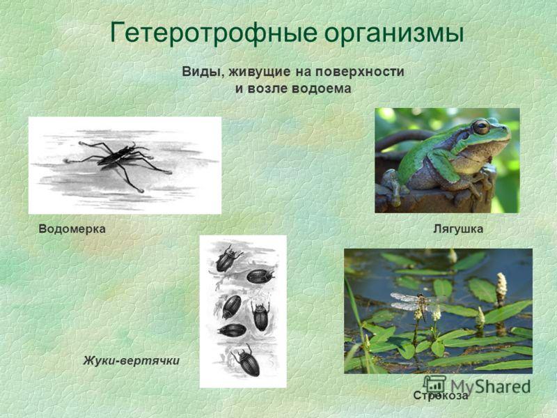 Гетеротрофные организмы Виды, живущие на поверхности и возле водоема Водомерка Лягушка Стрекоза Жуки-вертячки