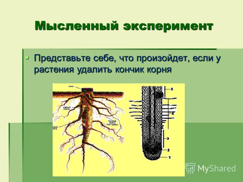 Мысленный эксперимент Представьте себе, что произойдет, если у растения удалить кончик корня Представьте себе, что произойдет, если у растения удалить кончик корня