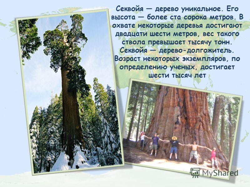 Секвойя дерево уникальное. Его высота более ста сорока метров. В охвате некоторые деревья достигают двадцати шести метров, вес такого ствола превышает тысячу тонн. Секвойя дерево-долгожитель. Возраст некоторых экземпляров, по определению ученых, дост