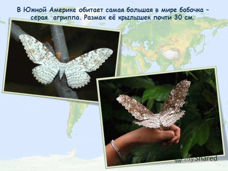 В Южной Америке обитает самая большая в мире бабочка – серая агриппа. Размах её крылышек почти 30 см.