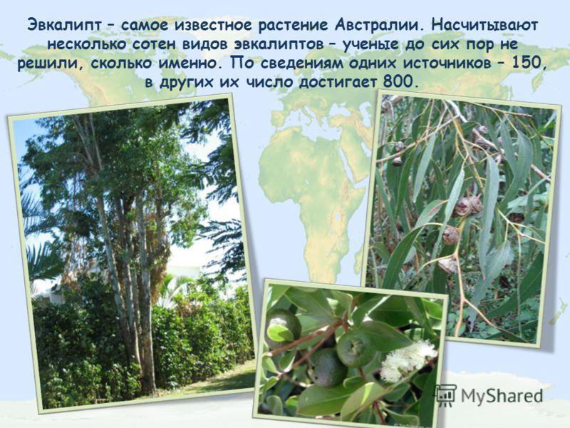 Эвкалипт – самое известное растение Австралии. Насчитывают несколько сотен видов эвкалиптов – ученые до сих пор не решили, сколько именно. По сведениям одних источников – 150, в других их число достигает 800.