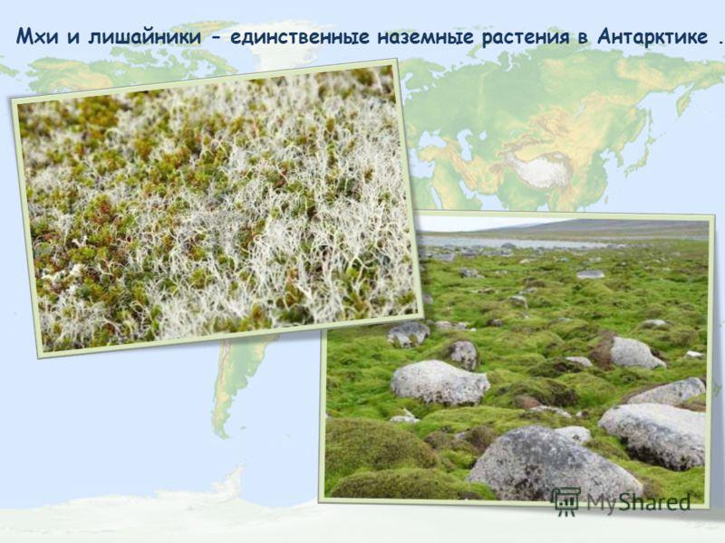 Мхи и лишайники - единственные наземные растения в Антарктике.