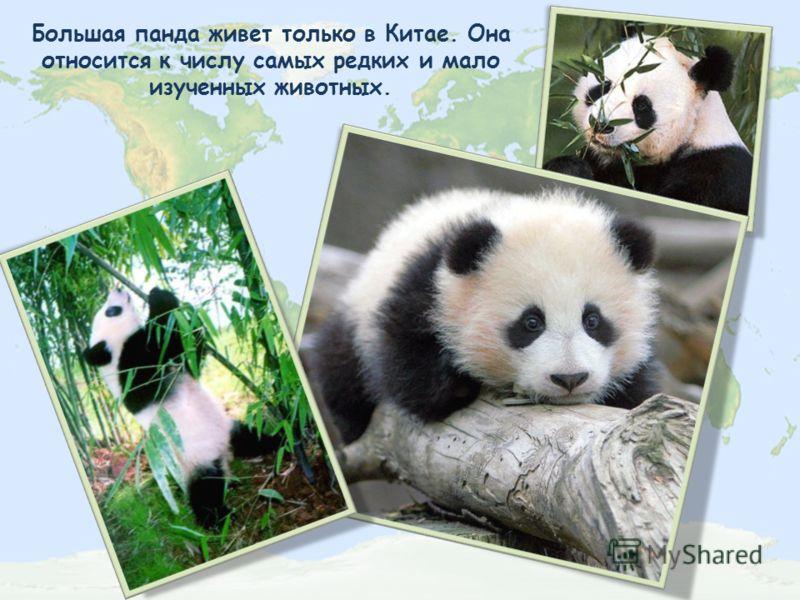 Большая панда живет только в Китае. Она относится к числу самых редких и мало изученных животных.