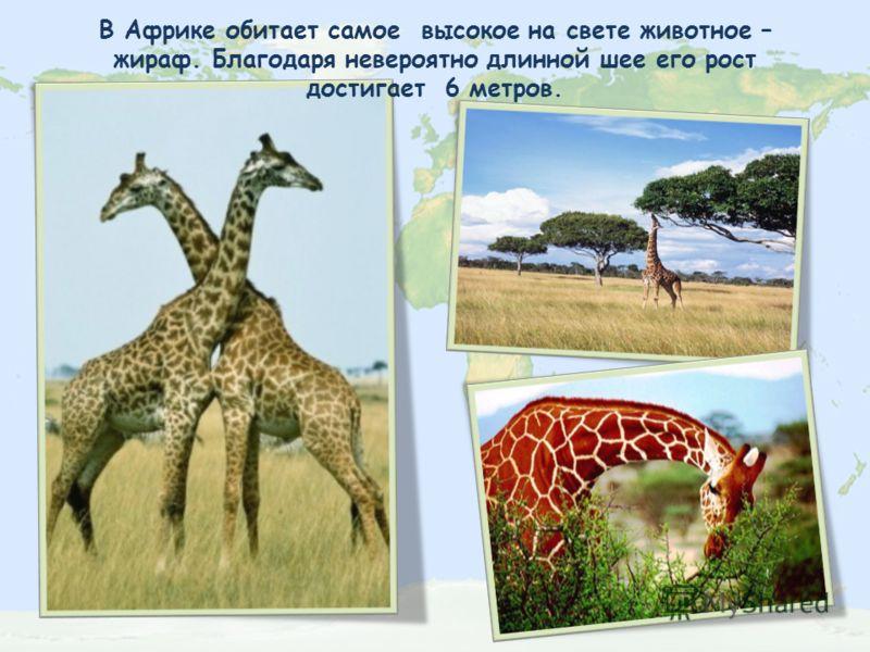 В Африке обитает самое высокое на свете животное – жираф. Благодаря невероятно длинной шее его рост достигает 6 метров.