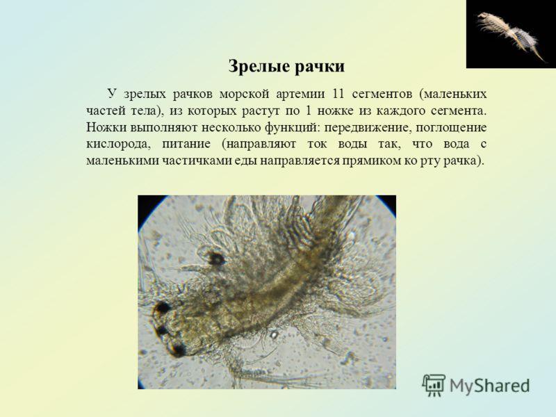 Зрелые рачки У зрелых рачков морской артемии 11 сегментов (маленьких частей тела), из которых растут по 1 ножке из каждого сегмента. Ножки выполняют несколько функций: передвижение, поглощение кислорода, питание (направляют ток воды так, что вода с м