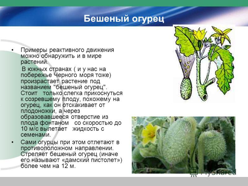 Бешеный огурец Примеры реактивного движения можно обнаружить и в мире растений. В южных странах ( и у нас на побережье Черного моря тоже) произрастает растение под названием