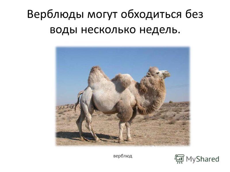 Верблюды могут обходиться без воды несколько недель.