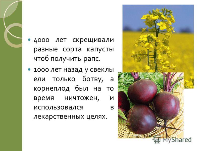 4000 лет скрещивали разные сорта капусты чтоб получить рапс. 1000 лет назад у свеклы ели только ботву, а корнеплод был на то время ничтожен, и использовался в лекарственных целях.