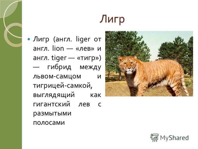 Лигр Лигр ( англ. liger от англ. lion « лев » и англ. tiger « тигр ») гибрид между львом - самцом и тигрицей - самкой, выглядящий как гигантский лев с размытыми полосами