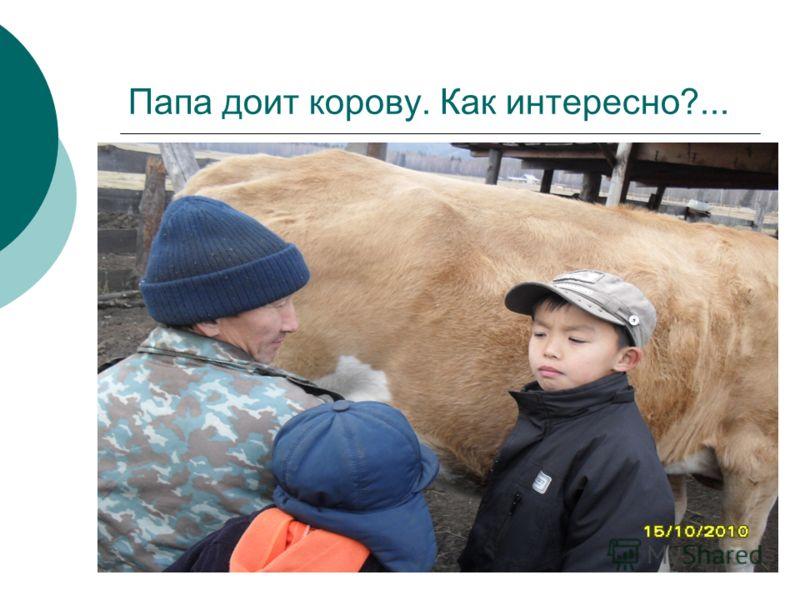 Папа доит корову. Как интересно?...