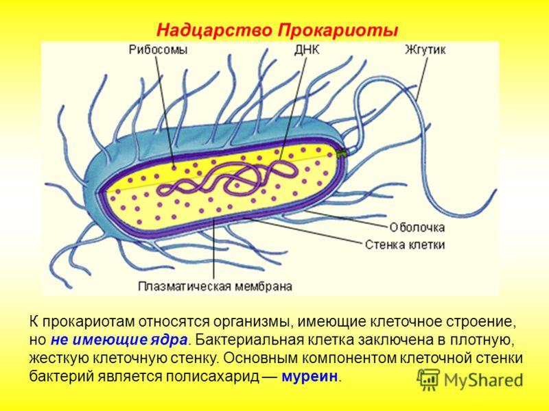 К прокариотам относятся организмы, имеющие клеточное строение, но не имеющие ядра. Бактериальная клетка заключена в плотную, жесткую клеточную стенку.