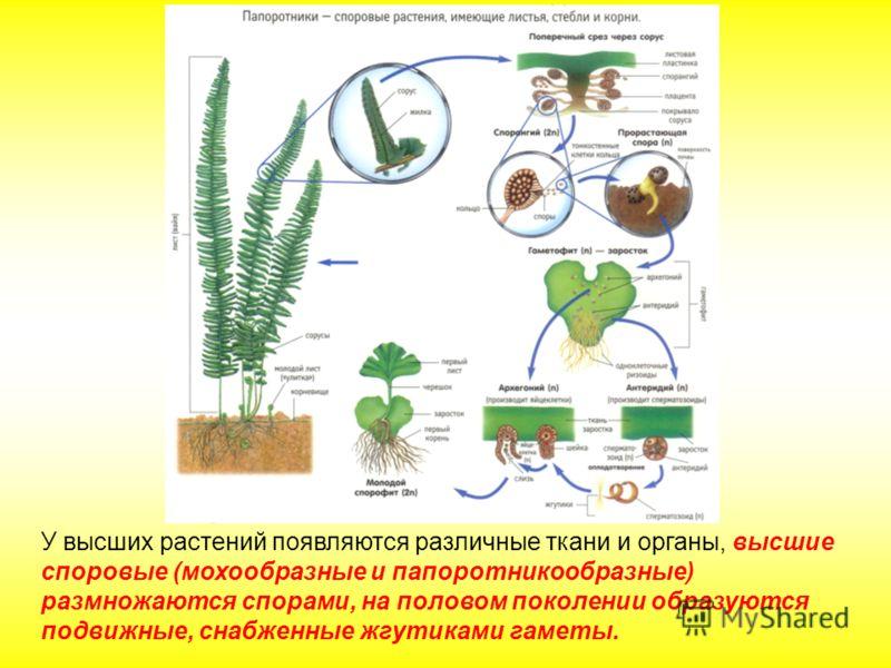 У высших растений появляются различные ткани и органы, высшие споровые (мохообразные и папоротникообразные) размножаются спорами, на половом поколении