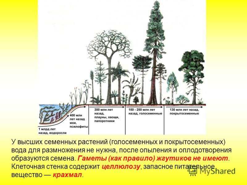 У высших семенных растений (голосеменных и покрытосеменных) вода для размножения не нужна, после опыления и оплодотворения образуются семена. Гаметы (как правило) жгутиков не имеют. Клеточная стенка содержит целлюлозу, запасное питательное вещество к