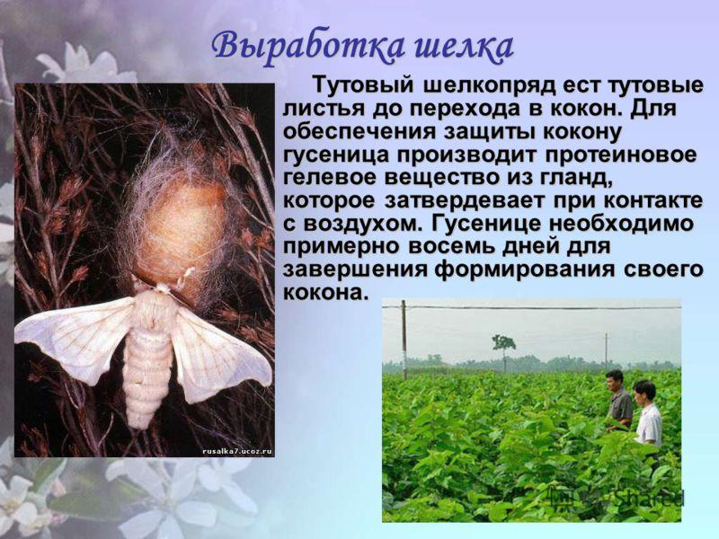 Выработка шелка Тутовый шелкопряд ест тутовые листья до перехода в кокон. Для обеспечения защиты кокону гусеница производит протеиновое гелевое вещество из гланд, которое затвердевает при контакте с воздухом. Гусенице необходимо примерно восемь дней