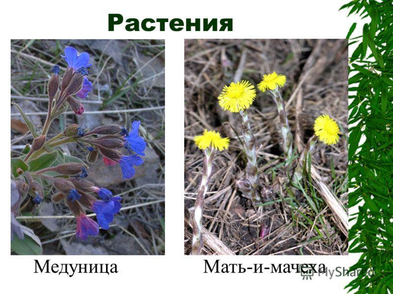 Растения МедуницаМать-и-мачеха