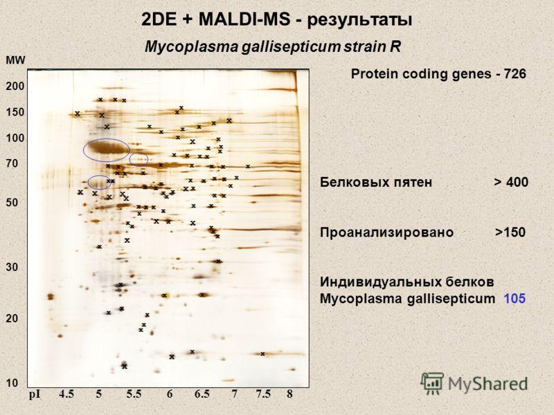 2DE + MALDI-MS - результаты Белковых пятен > 400 Проанализировано >150 Индивидуальных белков Mycoplasma gallisepticum 105 MW 200 150 100 70 50 30 20 10 pI 4.5 5 5.5 6 6.5 7 7.5 8 Mycoplasma gallisepticum strain R Protein coding genes - 726
