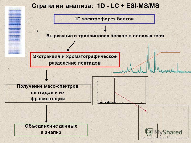 Стратегия анализа: 1D - LC + ESI-MS/MS Получение масс-спектров пептидов и их фрагментации Объединение данных и анализ 1D электрофорез белков Вырезание и трипсинолиз белков в полосах геля Экстракция и хроматографическое разделение пептидов