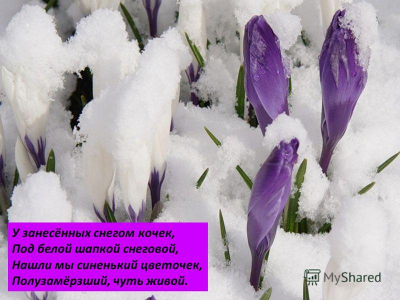 У занесённых снегом кочек, Под белой шапкой снеговой, Нашли мы синенький цветочек, Полузамёрзший, чуть живой.