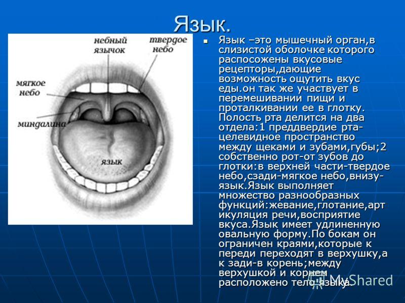 Язык. Язык –это мышечный орган,в слизистой оболочке которого распосожены вкусовые рецепторы,дающие возможность ощутить вкус еды.он так же участвует в перемешивании пищи и проталкивании ее в глотку. Полость рта делится на два отдела:1 преддвердие рта-