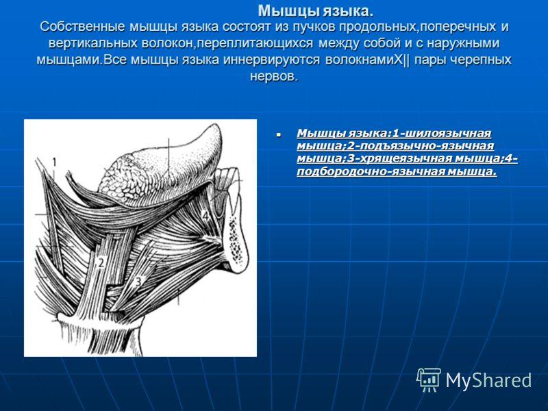 Собственные мышцы языка состоят из пучков продольных,поперечных и вертикальных волокон,переплитающихся между собой и с наружными мышцами.Все мышцы языка иннервируются волокнамиX|| пары черепных нервов. Мышцы языка:1-шилоязычная мышца;2-подъязычно-язы