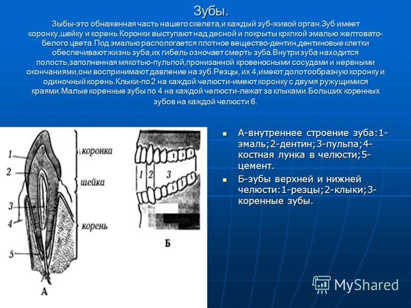 Зыбы-это обнаженная часть нашего скелета,и каждый зуб-живой орган.Зуб имеет коронку,шейку и корень.Коронки выступают над десной и покрыты кркпкой эмалью желтовато- белого цвета.Под эмалью распологается плотное вещество-дентин,дентиновые клетки обеспе