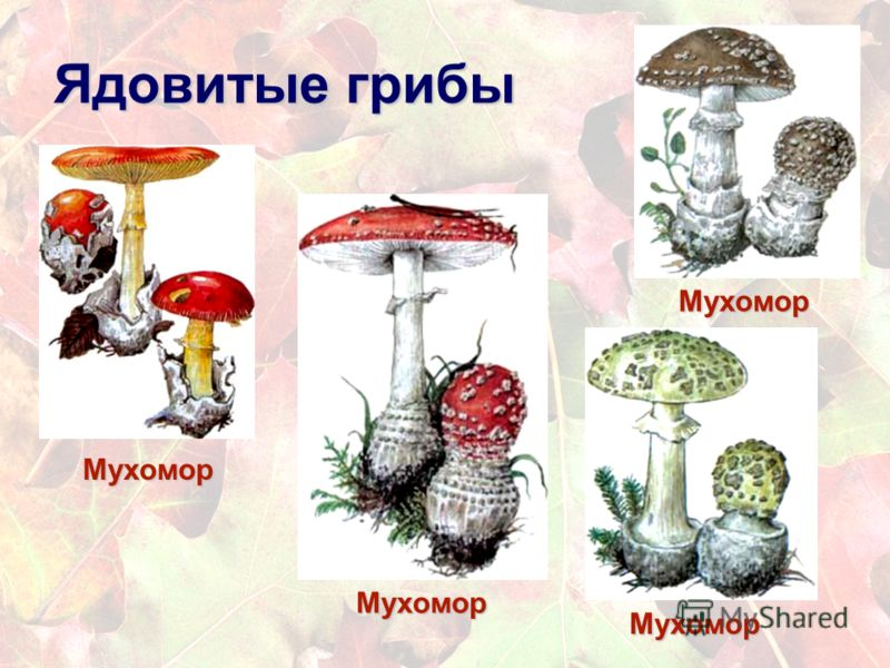 Презентация ядовитые грибы