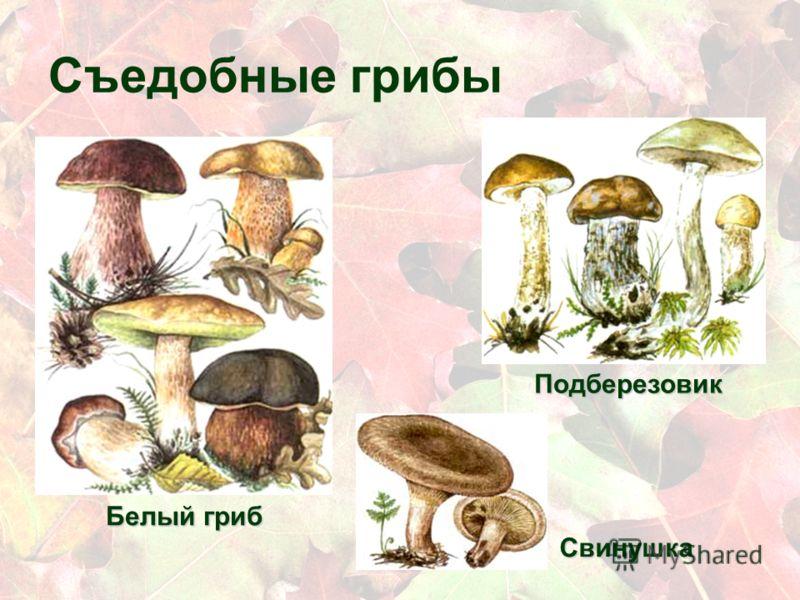 Съедобные грибы Белый гриб Подберезовик Свинушка