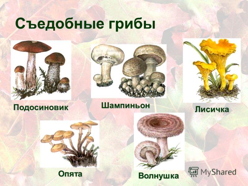 как выглядят грибы шампиньоны фото съедобных