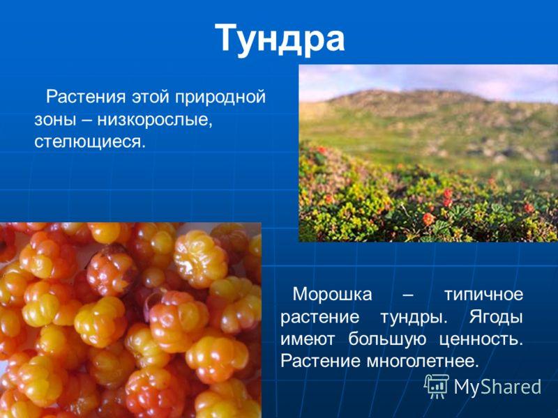 Тундра Растения этой природной зоны – низкорослые, стелющиеся. Морошка – типичное растение тундры. Ягоды имеют большую ценность. Растение многолетнее.