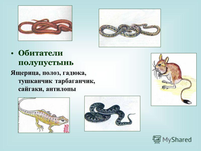 Обитатели полупустынь Ящерица, полоз, гадюка, тушканчик тарбаганчик, сайгаки, антилопы